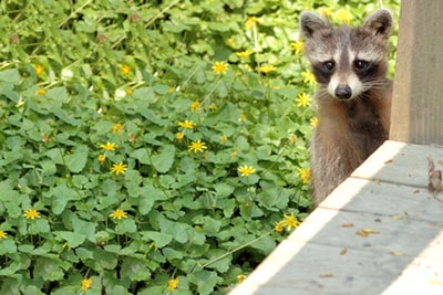 Racoon caught on camera